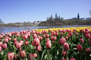 Tulipes - parc de la Gatineau